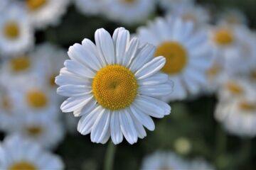 дни цветов