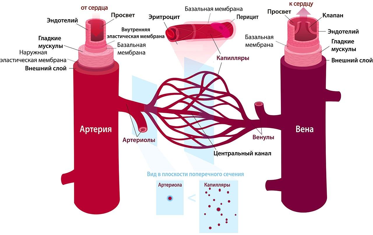 сеть кровеносных сосудов